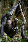 Chimpanzee Bonobo With A Cub.