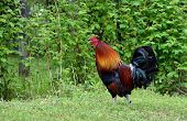 picture of rooster  - Beautiful domestic rooster strutting in outdoor setting - JPG