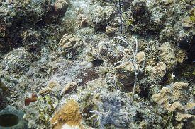 stock photo of damselfish  - Lonely bicolor Damselfish in a coral reef - JPG