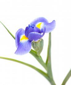 stock photo of purple iris  - Purple iris flower isolated on white background - JPG