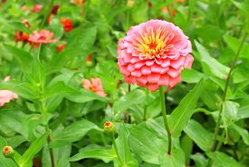 foto of zinnias  - Zinnia flower of nature in the park - JPG
