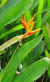 stock photo of heliconia  - Heliconia psittacorum of nature in the park - JPG