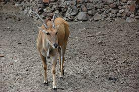 picture of eland  - One common eland Taurotragus oryx - JPG
