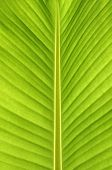 picture of banana tree  - Banana leaves.