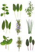Medicinal And Culinary Herb Leaves