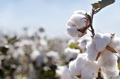 Close-up of cotton bolls in field