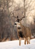 Solitary Mule Deer Standing In Snow