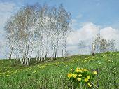 image of adonis  - Flowers of adonis - JPG