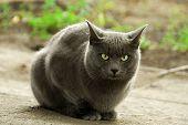big gray home cat