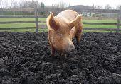 Big Muddy Pig