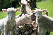 Exmoor lambs