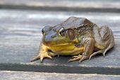 Rana Clamitans (Green Frog)