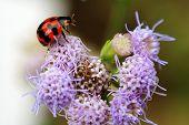 Ladybrid Playing On Purple Flower