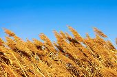 pic of australie  - Tops dry plant cane on the background of blue sky - JPG