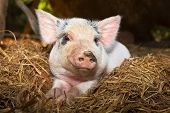 Baby piglet close up.