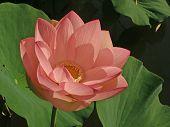 Peach Colored Lotus
