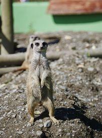 stock photo of meerkats  - A lone meerkat standing upright on the lookout - JPG