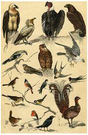 pic of nightingale  - Birds of prey - JPG