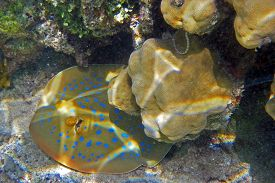 picture of stingray  - A Blue spotted stingray fish in Egypt - JPG