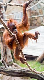 picture of orangutan  - A cute young orangutan  - JPG