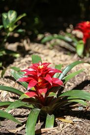picture of bromeliad  - Red Bromeliad blooms in summer in the shade - JPG