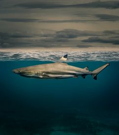 foto of fin  - shark with fin above water - JPG