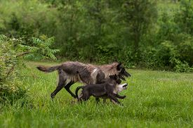 pic of lupus  - Black Phase Grey Wolf  - JPG