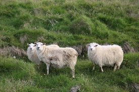 stock photo of iceland farm  - Three icelandic sheeps on the Meadow in Iceland - JPG