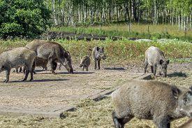 stock photo of boar  - wild boars living in captivity fenced area - JPG