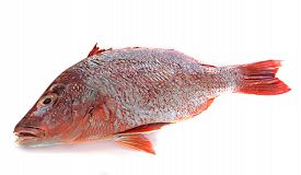 foto of red snapper  - red snapper in front of white background - JPG