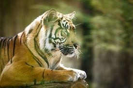 picture of tiger eye  - Closeup of a Siberian tiger also know as Amur tiger  - JPG