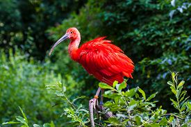 picture of scarlet ibis  - Scarlet Ibis sitting on a branch at the zoo - JPG