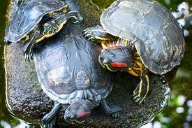 image of cooter  - Three turtles on the stone in the pond - JPG