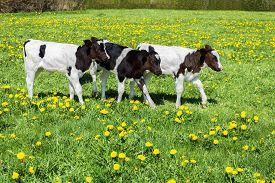 image of calf  - Three black white calves walk in green grass with dandelions - JPG