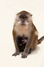 picture of macaque  - Macaque wearing its baby on a beach in Thailand