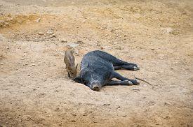 image of boar  - Dark wild pig lying in the sand - JPG