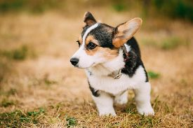 stock photo of corgi  - Close up portrait of young Happy puppy Welsh Corgi dog in dry grass outdoor - JPG