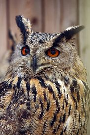 image of owl eyes  - beautiful owl with orange eyes and Brown feathers - JPG