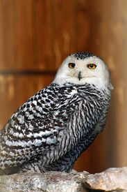 picture of owl eyes  - snow owl with yellow eyes and black - JPG