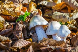 picture of toxic substance  - White Toxic mushrooms Poisonous mushroom or mushroom toxicity growing in grass field - JPG