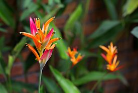 foto of heliconia  - Red Heliconia flower behind the wall brick - JPG