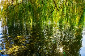 pic of weeping  - Beautiful Branches of a Weeping Willow Tree Reflecting into the Calm Water of a Pond in Autumn Time - JPG