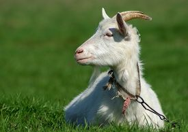 stock photo of goat horns  - Goat with horns on a background of green grass - JPG