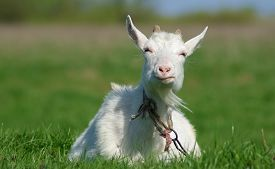 pic of goat horns  - Goat with horns on a background of green grass - JPG