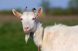 foto of goat horns  - Portrait of a goat with horns on a background of green grass - JPG