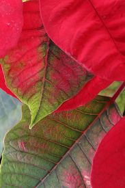 picture of poinsettia  - red and green leaf of poinsettia tree - JPG