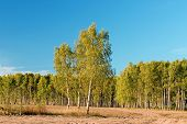 Birch With Forest & Blue Sky At Background poster