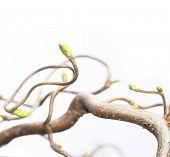ramas nudosas sobre fondo blanco