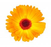 Bright yellow flower with dew drops on petals isolated on a white background. The exact name of a pl