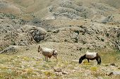 Desert landscape with horses in Northern Kurdistan, East Turkey